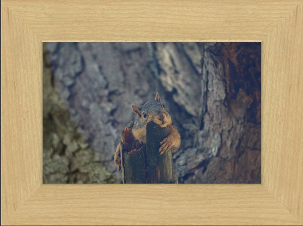 Squirrel Chill-In Out in a 6 x 9 Framed Print - Schmidt Fine Art Gallery