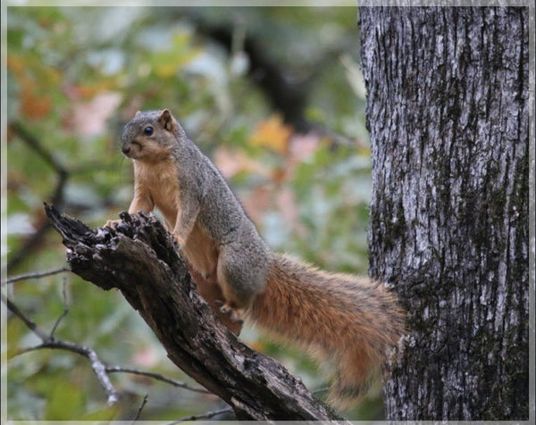 Squirrel on alert by Murchison in a 16 x 20 print with foam backing - Schmidt Fine Art Gallery