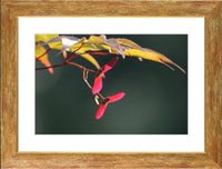 Summer Pedals in a 12 x 8 Print in a Gold Accent Frame with mat - Schmidt Fine Art Gallery
