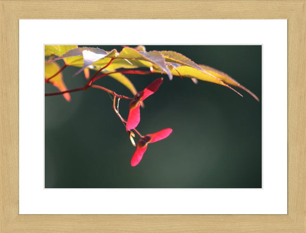 Summer Pedals in a 12 x 8 Print in a Blonde Maple Frame with mat - Schmidt Fine Art Gallery