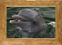 Talking Dolphin in a 10 x 15 Print in a Gold Accents Frame - Schmidt Fine Art Gallery