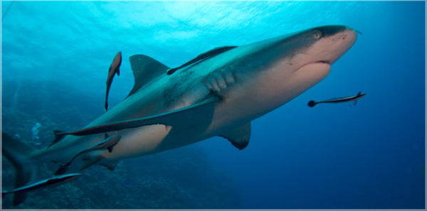 Up Close and Personal Shark in a  10 x 20 print unframed - Schmidt Fine Art Gallery
