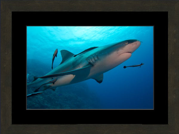 Up Close and Personal Shark in a 12 x 18 Print Framed with mat - Schmidt Fine Art Gallery