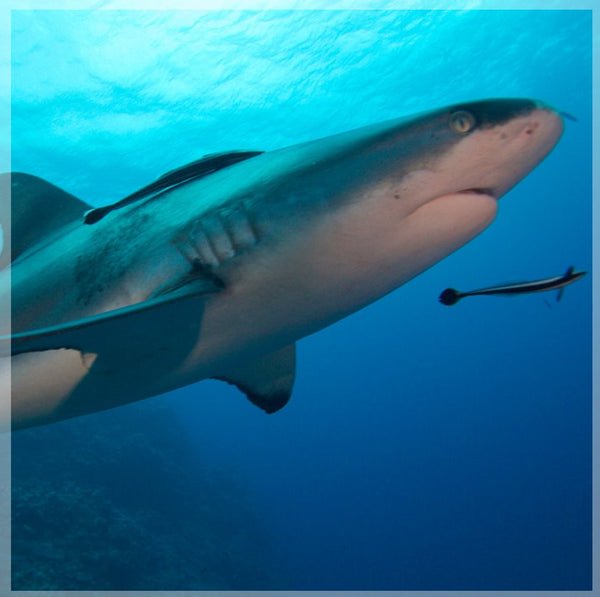 Up Close and Personal Shark in a 20 x 20 Unframed Print - Schmidt Fine Art Gallery