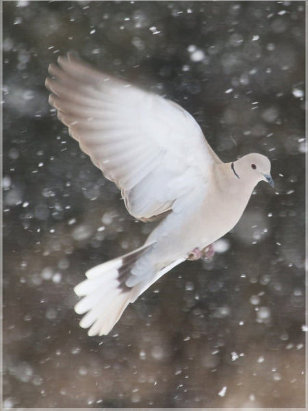 Winter Dove in a 10 x 13 Print - Schmidt Fine Art Gallery