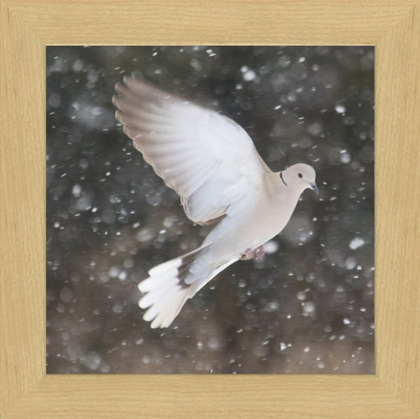 Winter Dove in a 12 x 12 Print framed with Blonde Maple Frame - Schmidt Fine Art Gallery