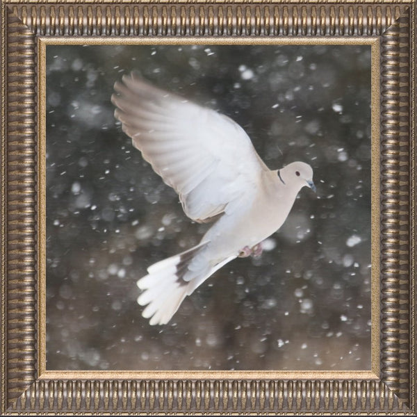 Winter Dove in a 12 x 12 Print framed with Pewter Ribbed Frame - Schmidt Fine Art Gallery