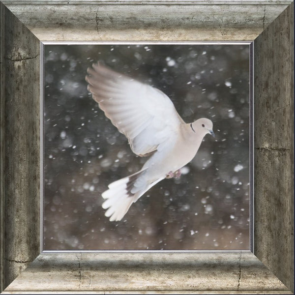 Winter Dove in a 12 x 12 Print in a Silver Curved Frame - Schmidt Fine Art Gallery