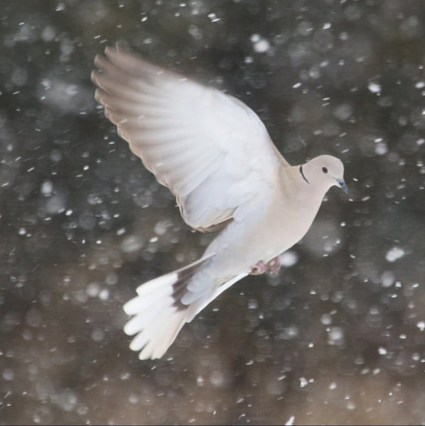 Winter Dove in a 16 x 16 Print Canvas Gallery Wrap - Schmidt Fine Art Gallery