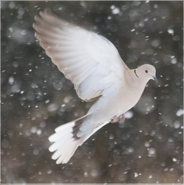 Winter Dove in a 16 x 16 Wrap - Schmidt Fine Art Gallery