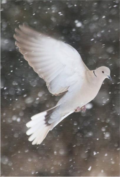 Winter Dove in a 16 x 23.5 Acrylic Print - Schmidt Fine Art Gallery