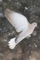 Winter Dove in a 16 x 24 Canvas - Schmidt Fine Art Gallery