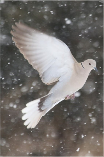 Winter Dove in a 16 x 24 Metal Print - Schmidt Fine Art Gallery
