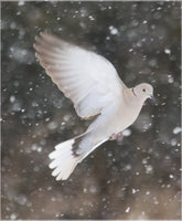 Winter Dove in a  19.5 x 23.5 Acrylic Print - Schmidt Fine Art Gallery