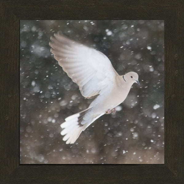 Winter Dove in a 20 x 20 Print framed with Espresso Walnut Frame - Schmidt Fine Art Gallery