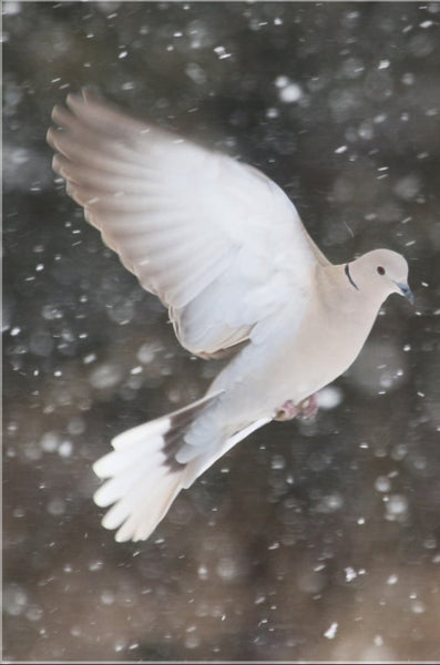 Winter Dove in a 20 x 30 Acrylic Print - Schmidt Fine Art Gallery