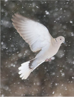 Winter Dove in a 20 x 30 Print - Schmidt Fine Art Gallery
