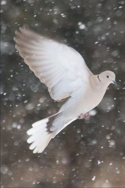 Winter Dove in a 24 x 36 Print Canvas Gallery Wrap - Schmidt Fine Art Gallery
