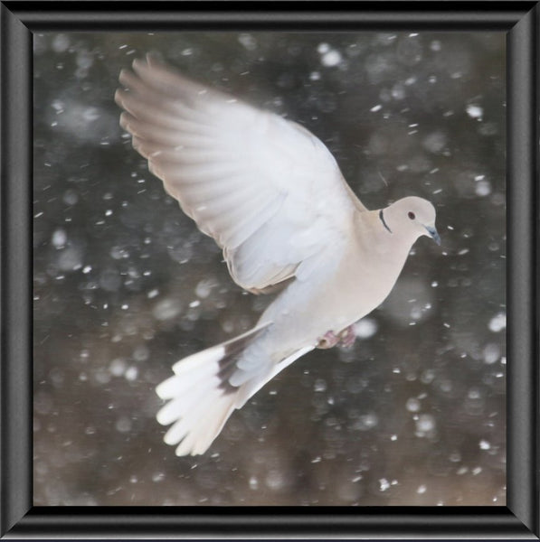 Winter Dove in a 4 x 4 Print framed with Black Metal Frame - Schmidt Fine Art Gallery