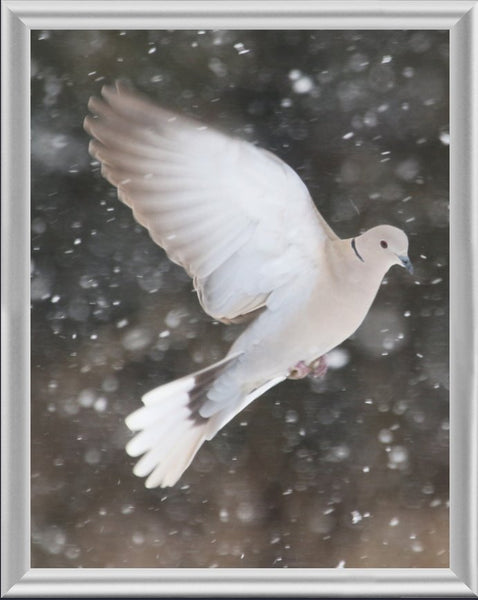 Winter Dove in a 4 x 5 Print framed with Silver Metal Frame - Schmidt Fine Art Gallery