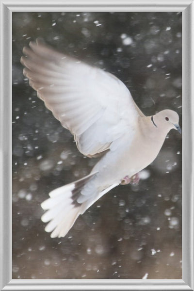 Winter Dove in a 4 x 6 Print framed with Silver Metal Frame - Schmidt Fine Art Gallery