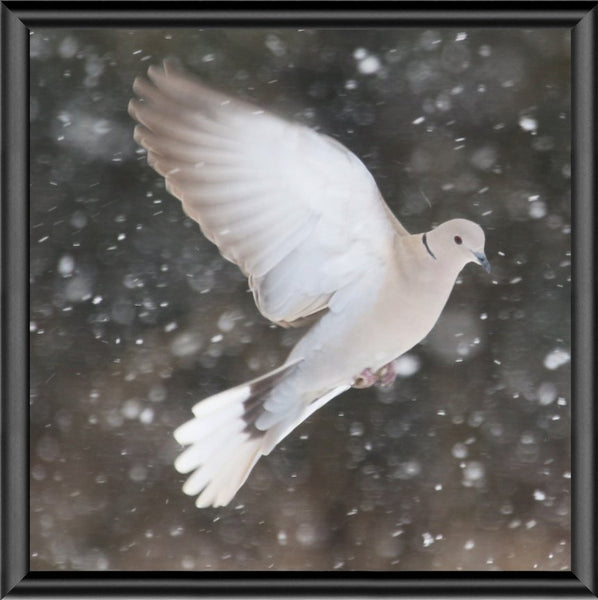 Winter Dove in a 5 x 5 Print framed with Black Metal Frame - Schmidt Fine Art Gallery