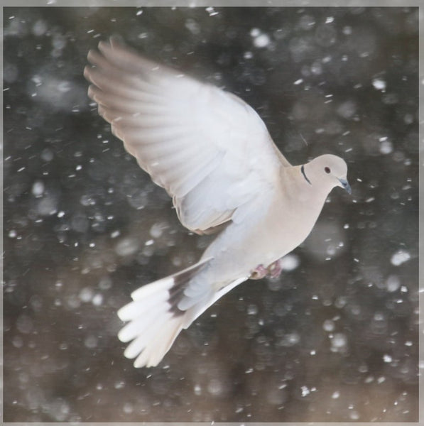 Winter Dove in a 5 x 5 Print - Schmidt Fine Art Gallery