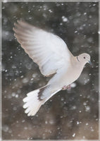 Winter Dove in a 5 x 7 Print - Schmidt Fine Art Gallery