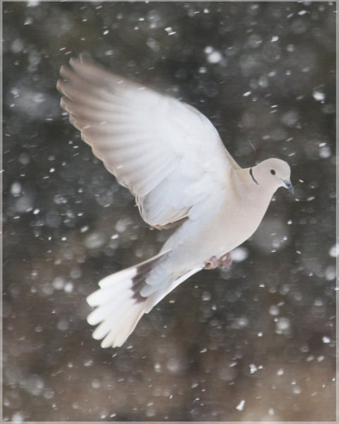 Winter Dove in a 8 x 10 Metal Print - Schmidt Fine Art Gallery