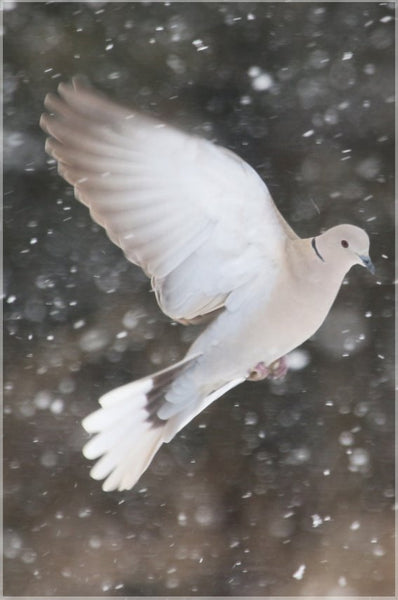 Winter Dove in a 8 x 12 Metal Print - Schmidt Fine Art Gallery