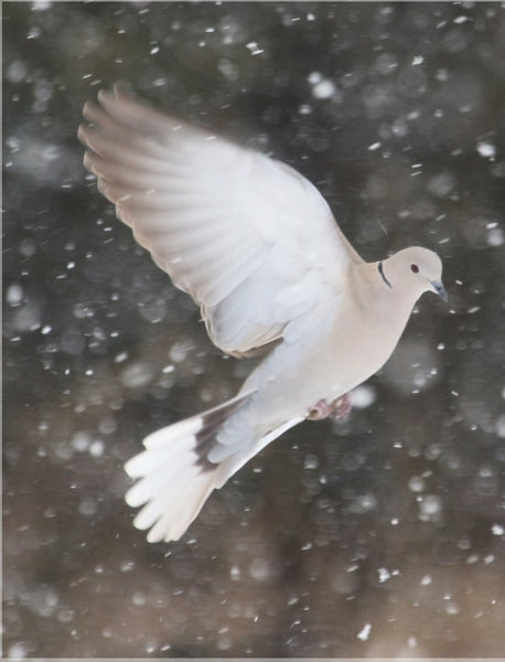 Winter Dove in a 8.5 x 11 Print - Schmidt Fine Art Gallery