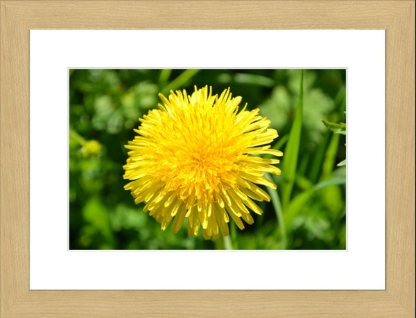 Yellow Dandelion in a 10 x 15 Print with mat in a Blonde Maple Frame - Schmidt Fine Art Gallery