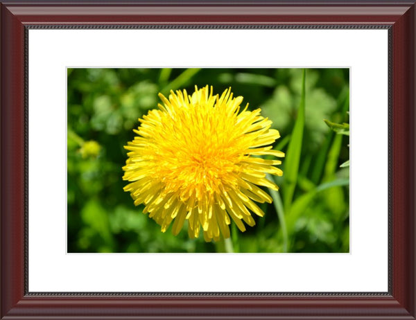 Yellow Dandelion in a 10 x 15 Print with mat Framed in a Beaded Mahogany Frame - Schmidt Fine Art Gallery