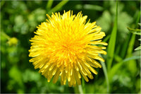 Yellow Dandelion in a 24 x 16 Metal Print - Schmidt Fine Art Gallery