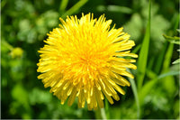 Yellow Dandelion in a 24 x 16 Poster - Schmidt Fine Art Gallery