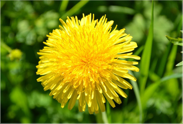 Yellow Dandelion in a 36 x 24 Canvas - Schmidt Fine Art Gallery