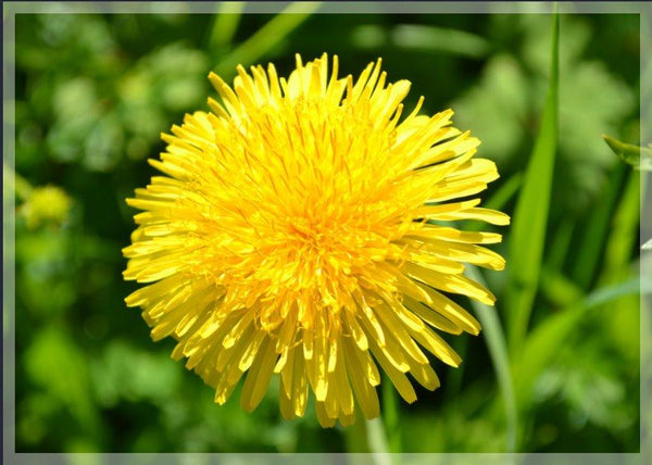Yellow Dandelion in a 4 x 6 Print - Schmidt Fine Art Gallery