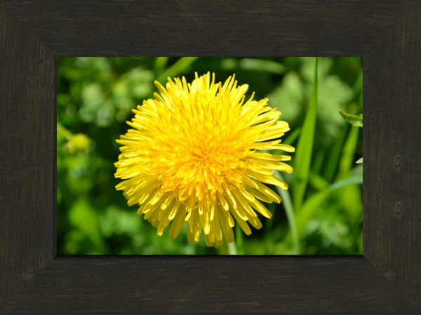 Yellow Dandelion in a 6 x 9 Print in an Espresso Walnut Frame - Schmidt Fine Art Gallery