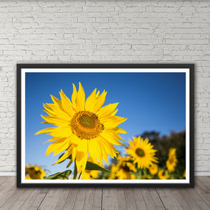 Bees on Sunflower - Prints and Wall Art