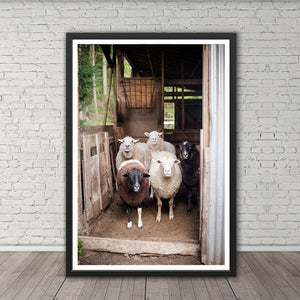 Sheep in a Shed - Prints and Wall Art