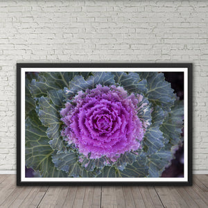 Ornamental Cabbage - Prints and Wall Art