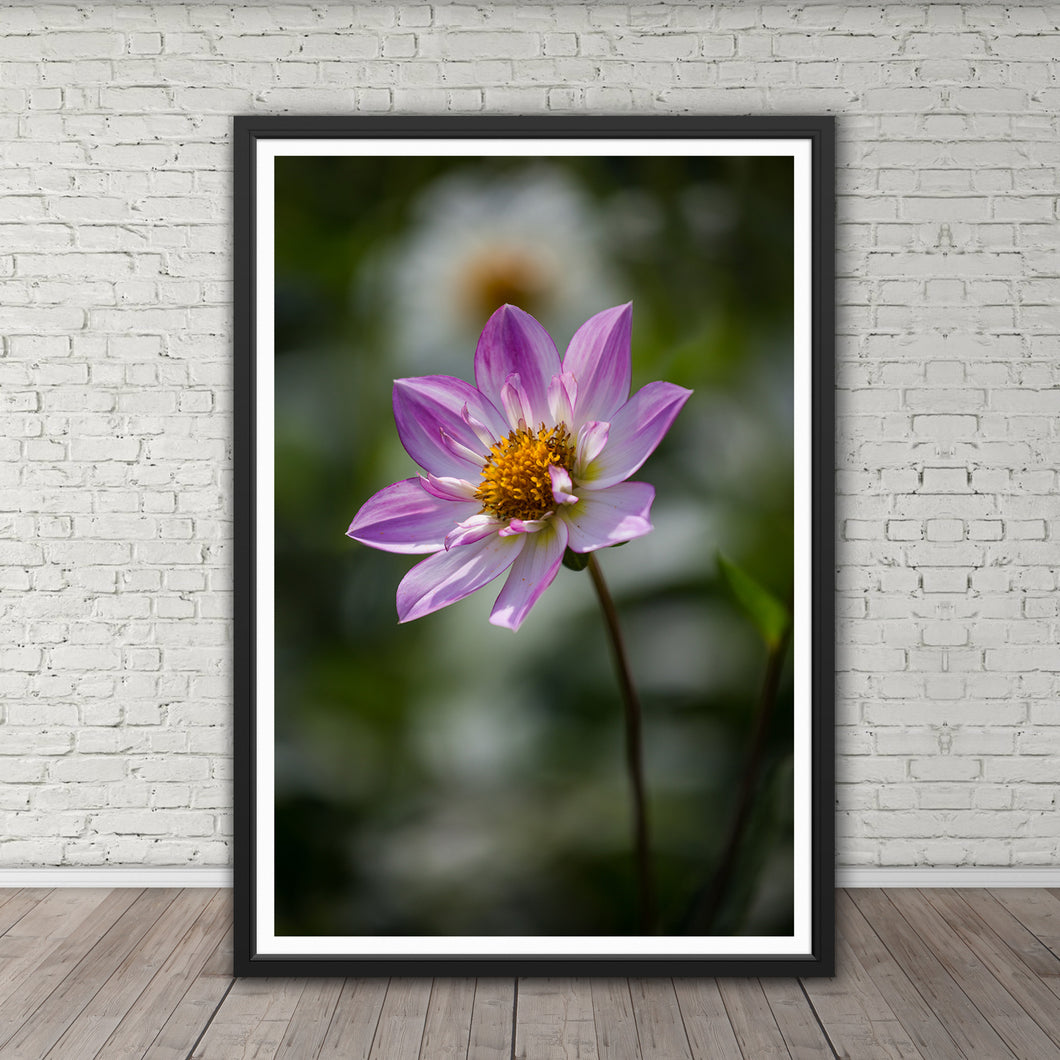 Pink Collarette Dahlia - Instant Printable Download