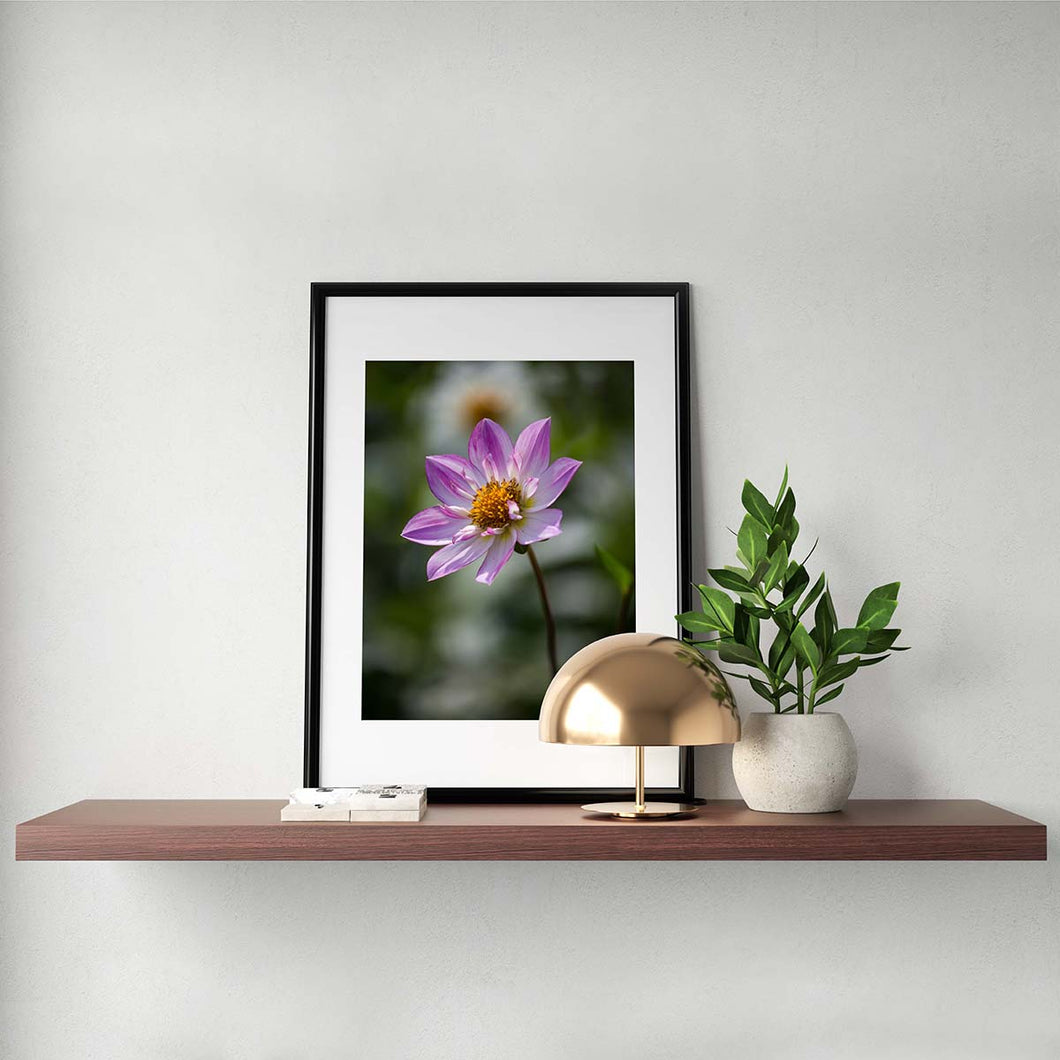 Pink Collarette Dahlia - Prints and Wall Art