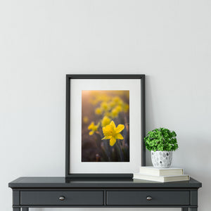 Daffodil at Dawn - Instant Printable Download