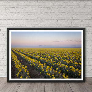 Daffodil Field at Sunrise - Instant Printable Download