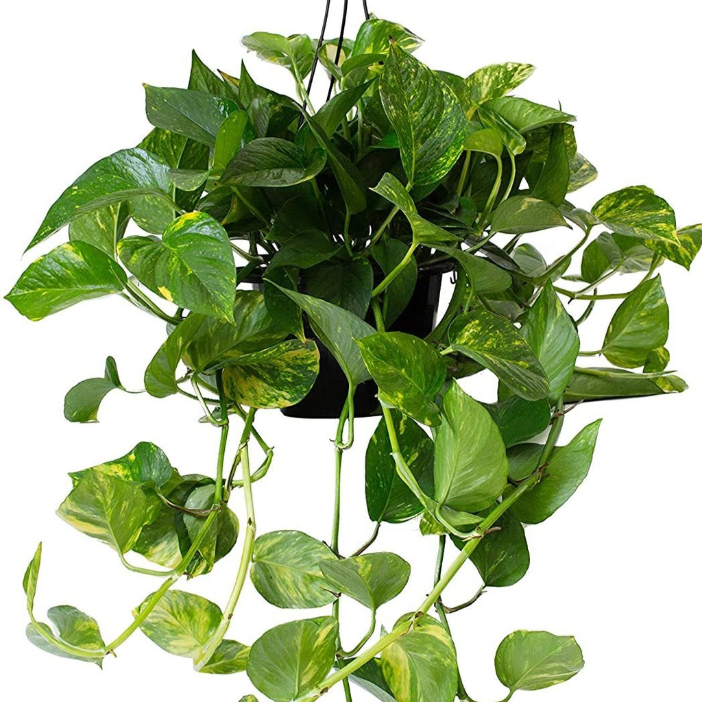 Pretty Hanging Pothos 6""