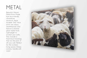 Flock of Sheep CUSTOM GIFT PRINTS DenverToDallas METAL 12X18