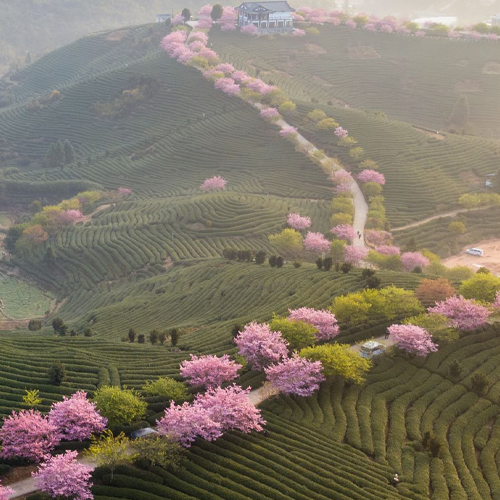 Fujian is one of China's oldest and most highly prized tea-producing provinces