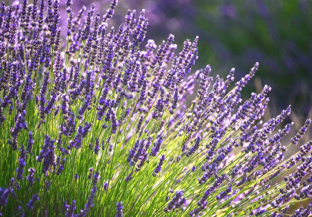 How to Improve the Health of Your Skin with Lavender Oil | by Healthline