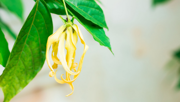 Know More About Ylang Ylang Oil Benefits